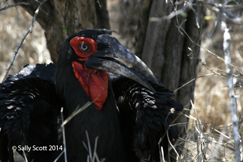 The Ground Hornbill