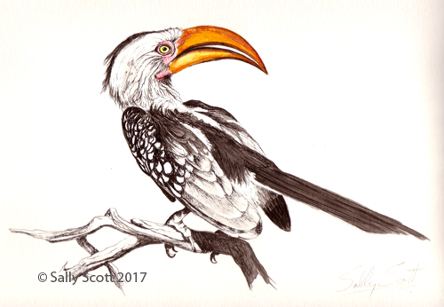 yellow-billed-hornbill-1-psweb